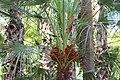 Arecales - Hedyscepe canterburyana - 2.jpg