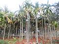 Arecanut plantations.JPG