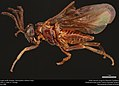 Argid sawfly (Argidae, Sphacophilus cellularis (Say)) (36825175864).jpg