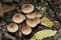 Armillaria ostoyaea 2011 G2.jpg