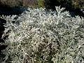Artemisia arborescens 3c.JPG