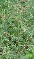 Artemisia nilagirica (C.B. Clarke) Panp.jpg