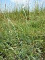 Artemisia pancicii sl24.jpg