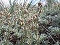 Artemisia pedatifida — Matt Lavin 010.jpg