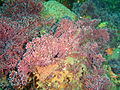 Articulated coralline algal turf at Rheeder's Reef P2277054.JPG