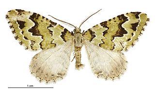 <i>Asaphodes adonis</i> species of moth