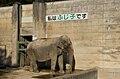 Asian Elephant Fujiko.jpg