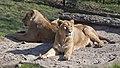 Asiatic Lions 1d (5512761698).jpg