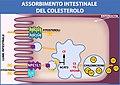 Assorbimento Intestinale del Colesterolo.jpg