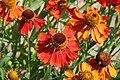 Asteraceae spec 001.jpg