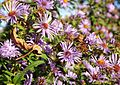Asters and bees (21659852870).jpg