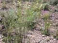 Astragalus filipes (3848565673).jpg