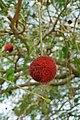 Atakora-Parkia biglobosa (5).jpg
