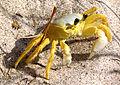 Atlantic Ghost Crab, Indiatlantic.jpg