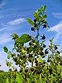 Atropa belladonna 003.JPG