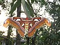 Attacus atlas - Atlas moth at Peravoor 2017 (5).jpg