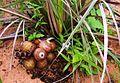 Attalea eichleri with fruits.jpg