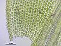 Aulacomnium androgynum (a, 145322-481416) 4045.JPG