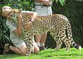 Australia Zoo cheetah and zookeepers.jpg