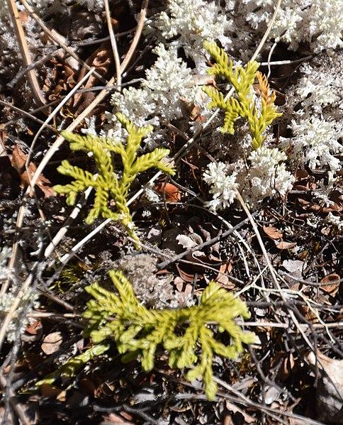 File:Austrolycopodium fastigiatum in Lewis Pass Scenic Reserve.jpg