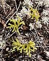 Austrolycopodium fastigiatum in Lewis Pass Scenic Reserve.jpg