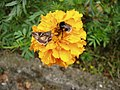 Autographa gamma and Bombus terrestris or B. lucorum 52.jpg