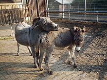 Parade amoureuse entre deux ânes