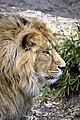 Aziatische leeuw (13171479874).jpg