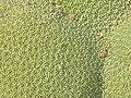 Azorella compacta (Llareta) - close up (48338318496).jpg