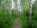 Březový les u Salaspilsu.jpg
