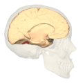 BA37 - medial view.png