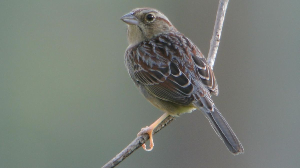 What was the primary COLOR of the Perching-like bird you saw in Illinois?