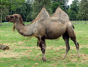 Cotswold Wildlife Park - Image: Bactrian.camel.sideo n.arp