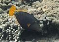 Balistapus undulatus Réunion.jpg