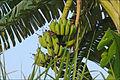 Bananes (baie dHalong terrestre) (4369177548).jpg