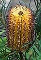 Banksia spinulosa Spike.jpg