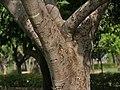 Banyan tree (Ficus benghalensis) trunk in Secunderabad, AP W IMG 6634.jpg