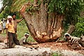 Banyan tree being sawed IMG 4193.jpg