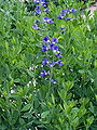 Baptisia tinctoria 001.jpg