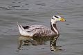 Bar-headed Goose.jpg