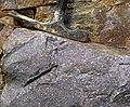 Baraboo Quartzite (upper Paleoproterozoic, ~1.7 Ga; just north of Rock Springs, Wisconsin, USA) 5 (18163183964).jpg