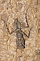 Bark mantis (Liturgusidae) 0383.jpg