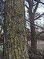 Bark of the European Larch (Larix decidua), Weimar, Germany, March 24th 2018 04.jpg