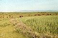 Barley and cattle. Mamora. Atlantic coast plain (37047446524).jpg