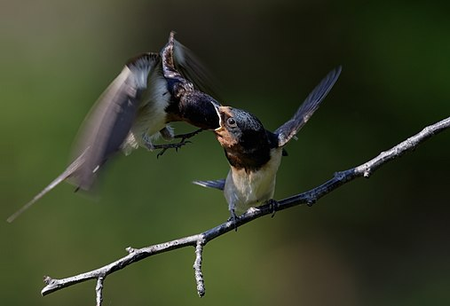 Barn swallow (feeding) at Tennōji Park in Osaka, June 2016 - 315.jpg