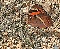 Baronet (Euthalia nais) in Narshapur, AP W IMG 1011.jpg