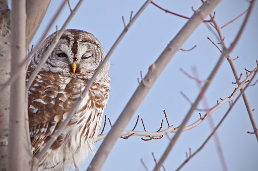 Barred-Owl 9052