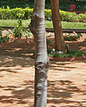Batino (Alstonia macrophylla) trunk at Hyderabad, AP W 279.jpg