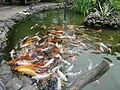 Batumi Aquarium Koi Carp 02.jpg