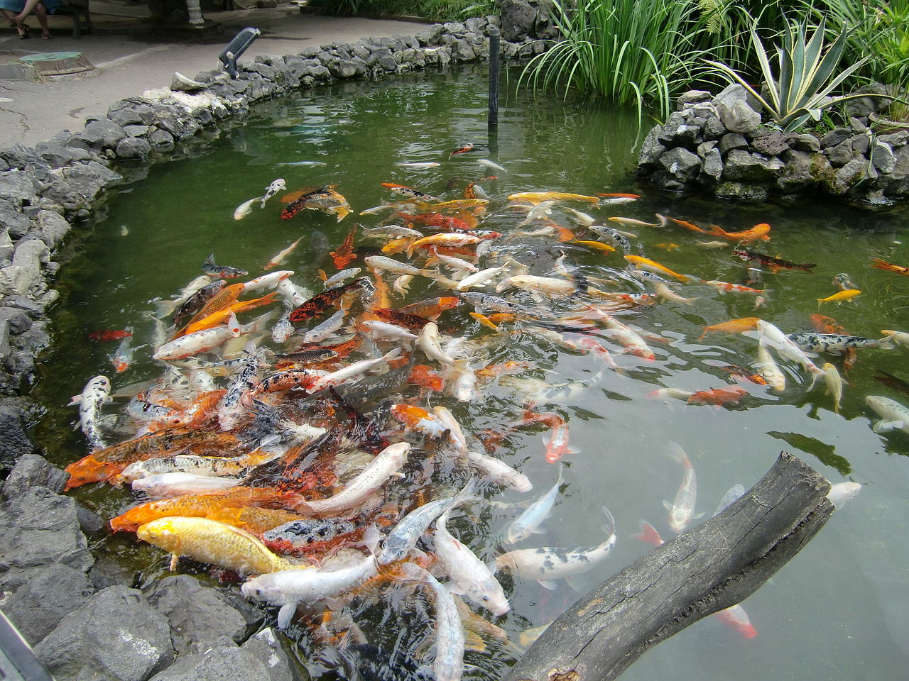 File batumi aquarium koi carp wikimedia commons for Carp in a fish tank